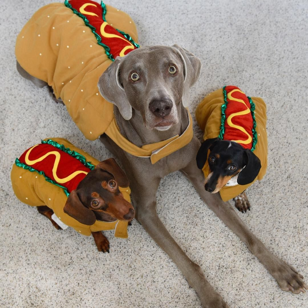 Hot Dogs If You Re In Salt Lake City Tonight Come And See Us At Wheeler Farm We Will Be There Cute Animal Pictures Weimaraner Puppies Silly Animals