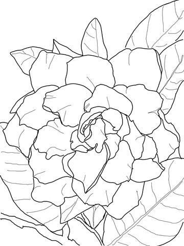 Gardenia Jasminoide Dibujo para colorear. Categorías: Gardenia ...