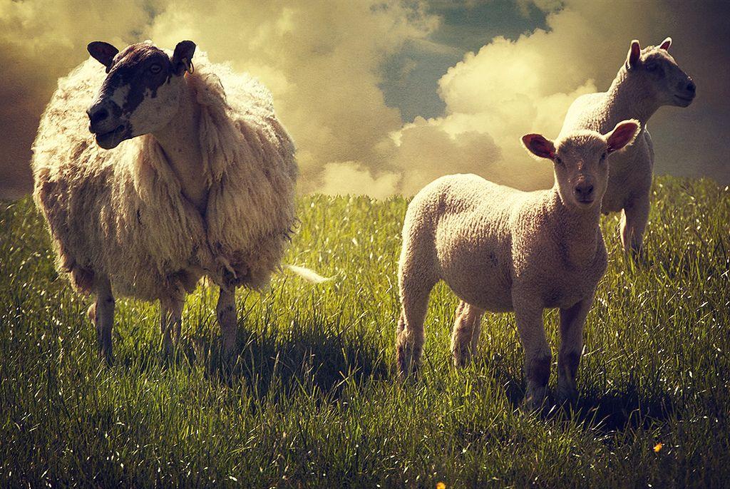 3 sheep | Flickr - Photo Sharing!