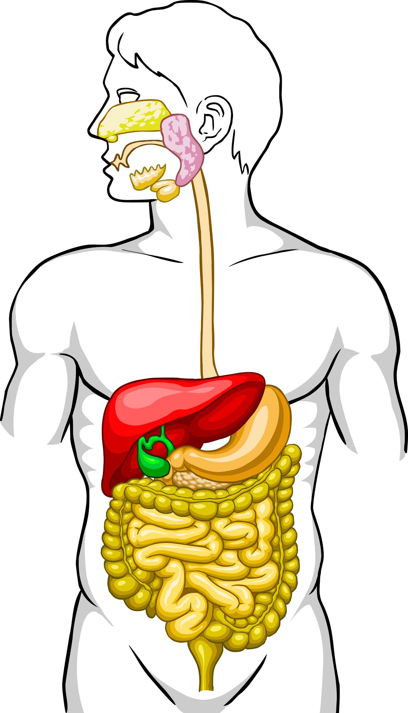 cartoon pic of esophagus | Major Components of the | school projects ...