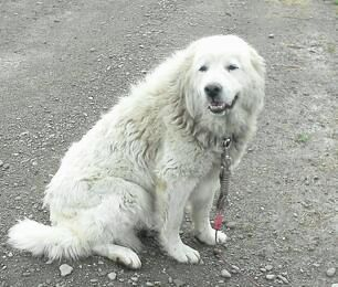 Adopt Zena on Petfinder   Great pyrenees dog, Rescue dogs ...
