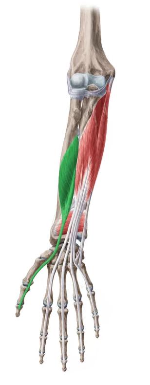 Vista 2 Flexor Largo dedo pulgar | Anatomie | Pinterest | Músculos ...