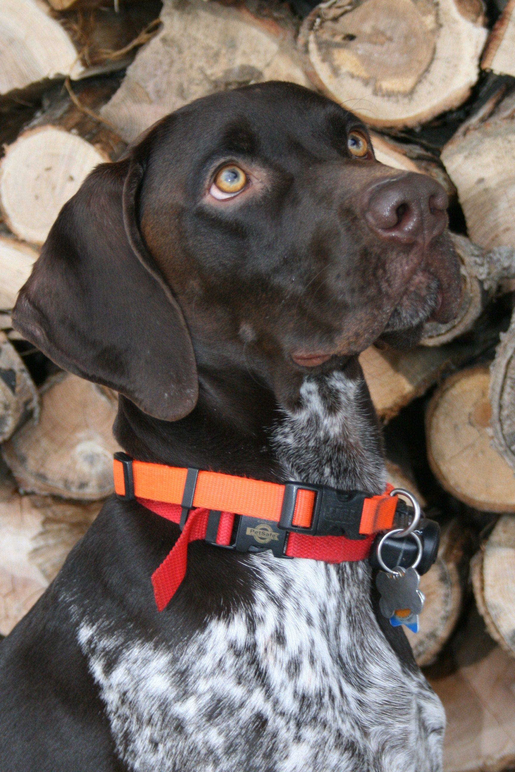 I Love My German Shorthaired Pointer My Favorite
