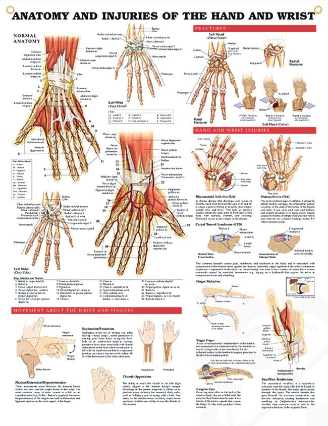 Anatomy and Injuries of the Hand and Wrist Chart 20x26 | Pinterest ...
