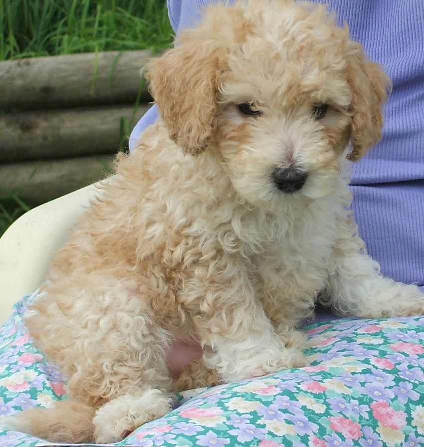 Standard Poodle Puppy Poodle Pinterest Poodle Puppies And Dogs