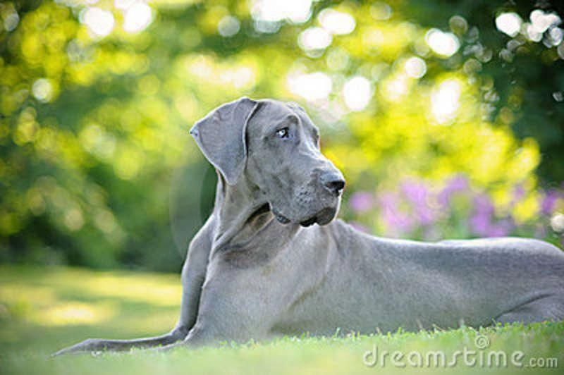 Great Danes Puppy The Traits We All Adore About The Elegant Great