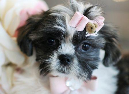 Teacup Shih Tzu Puppies Shih Tzu Puppy Teacup Shih Tzu Shih Tzu