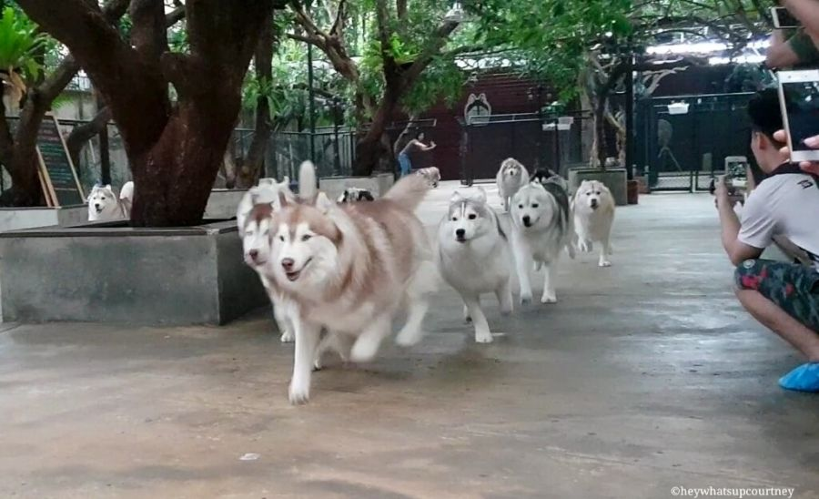 Husky Cafe That Lets You Play Take Pictures With 20 Huskies In