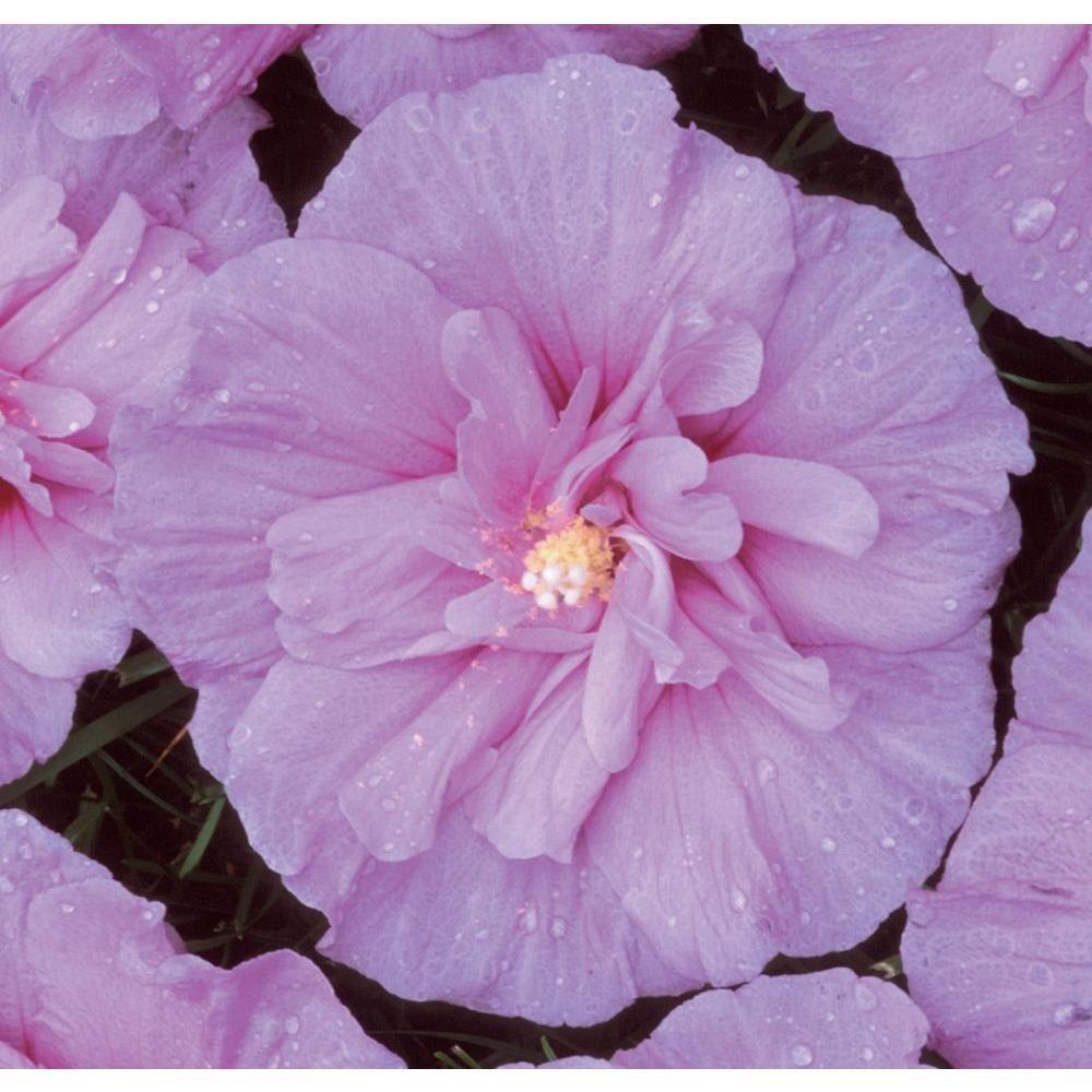 Proven Winners 1 Gal Lavender Chiffon Hibiscus Live Shrub Light