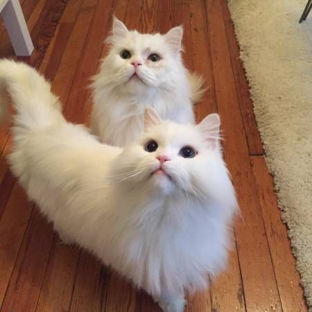 Craigslist Richmond 50 00 Persian Cat Cats Pets