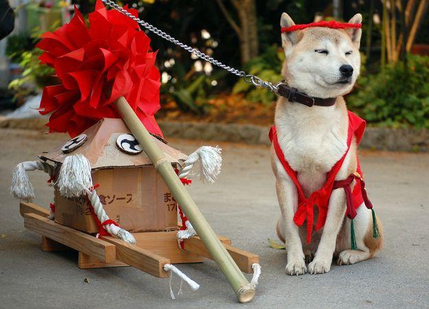 Fashionable Japanese Dogs. Shiba!