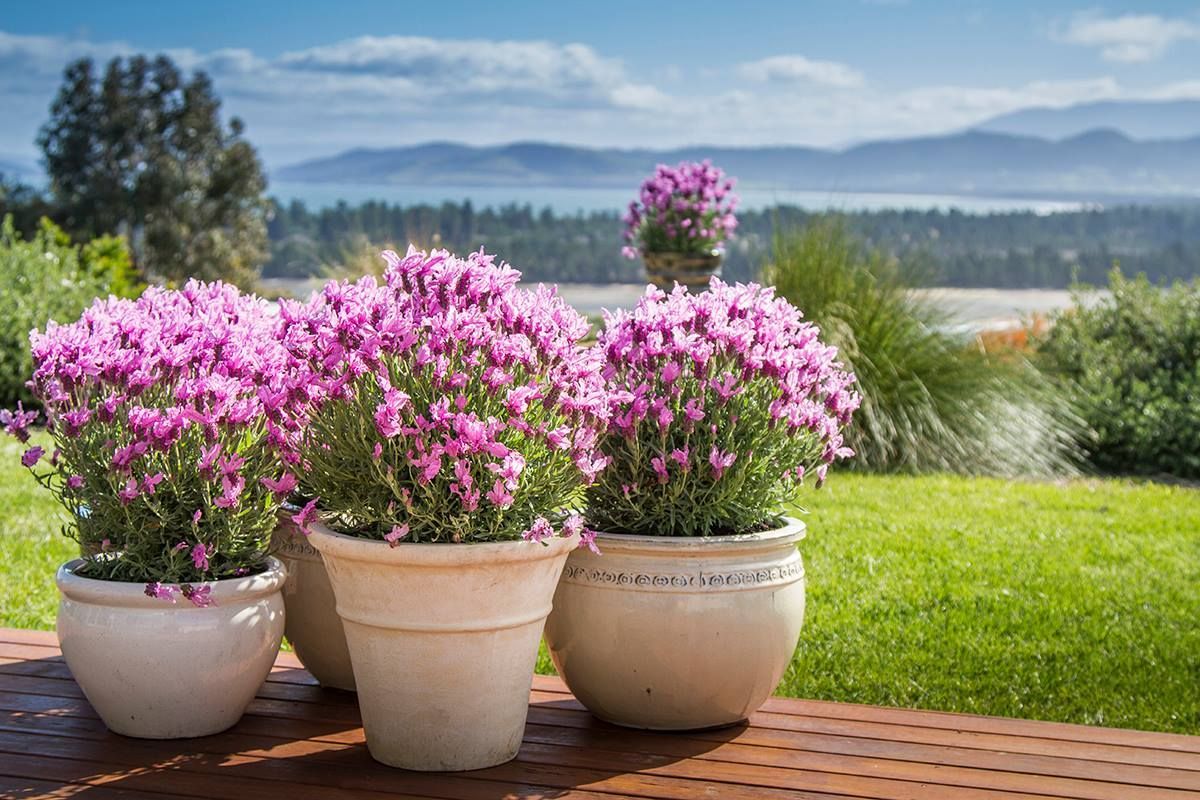 Not a native Australian plant Princess Lavender (With