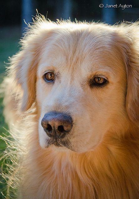 Golden Bear Golden Retriever Beautiful Dog Breeds Cute Dog