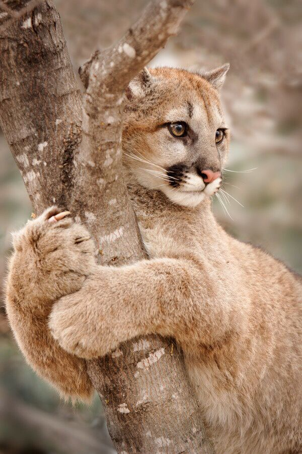 Puma!!!