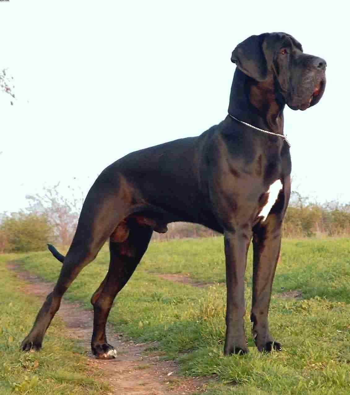 Great Dane Or Deutsche Dogge Gentle Giants Great Dane Dogs