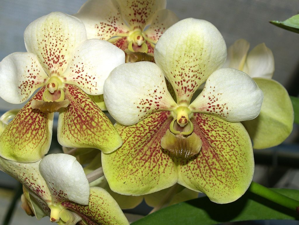 Vanda keylime orchid flowers and orchids garden
