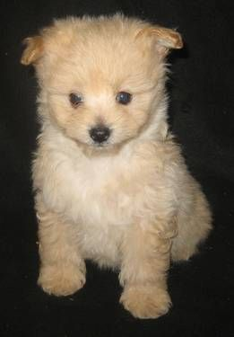 Tiny Pomapoo Puppies Champion Lines Puppies Cute Animals