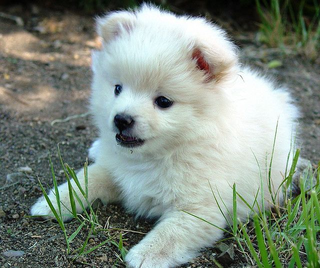 The White Half Pomeranian Half Poodle Puppy 2 At My Brother S