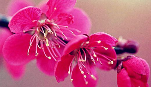 Paperspetals Cherry Blossoms Tutorial Cherry Blossom Flowers Flower Desktop Wallpaper Cherry Blossom Wallpaper