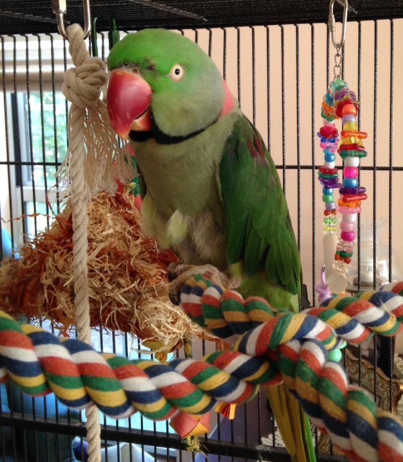 Adopt Cosmo On Parrot Facts Parakeet Care Parrot