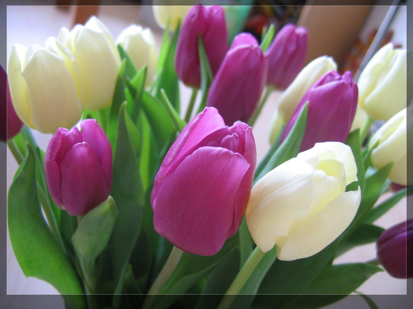 Purple and white tulips wallpaper   tulips   Pinterest ...