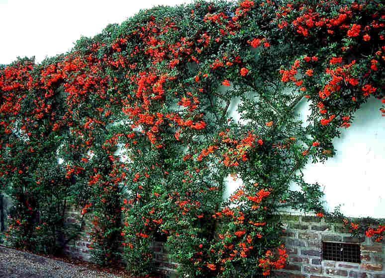 Pyracantha Firethorn Zone 5 Garden Trees Dry Garden