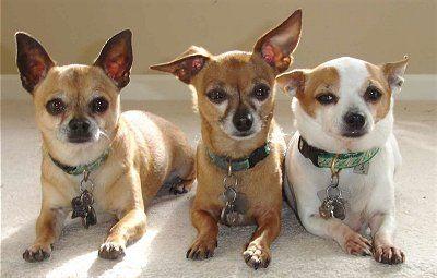 Three Chihuahuas Chihuahua Dogs Chihuahua Dog Boutique