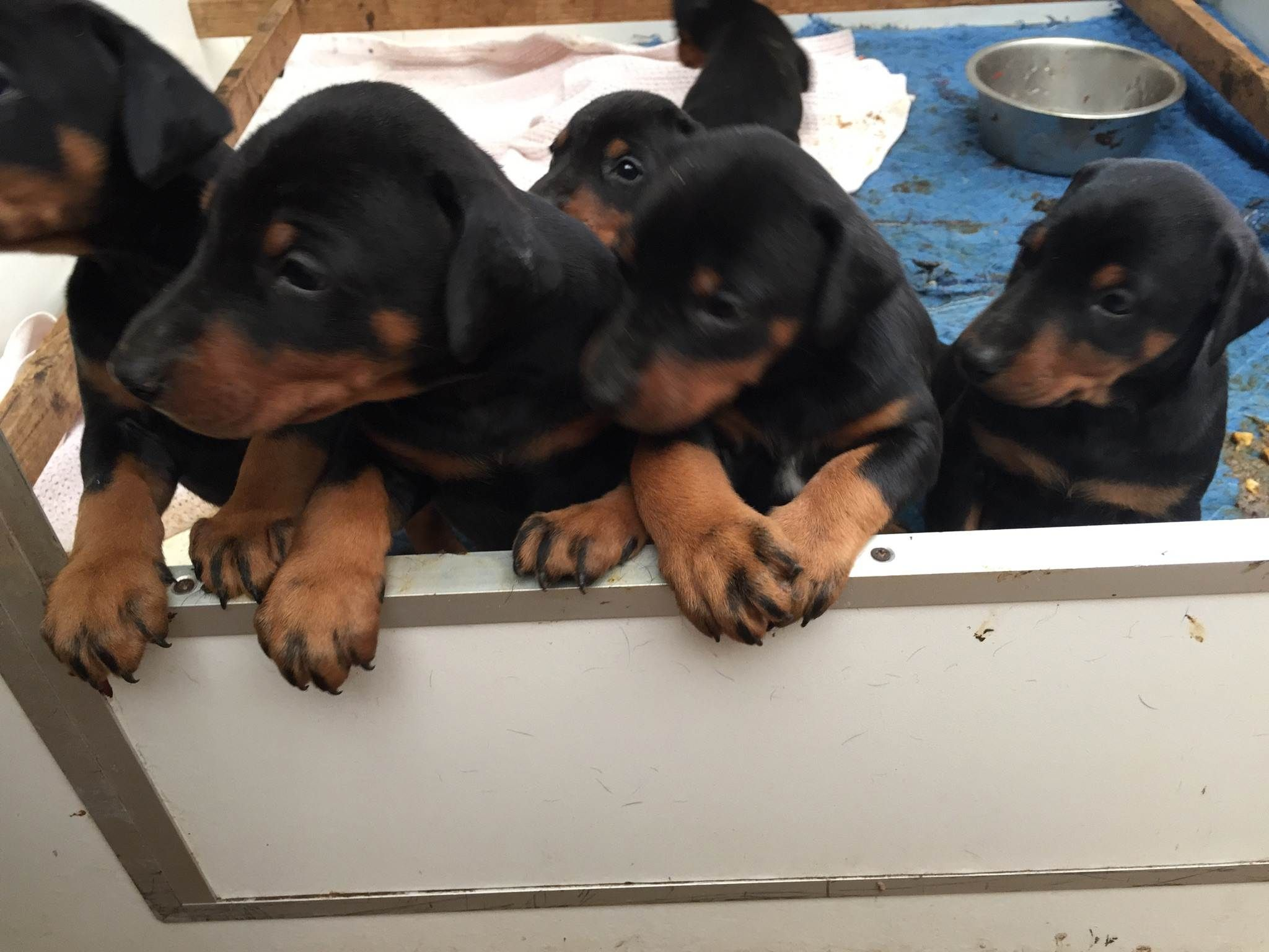 Doberman Puppies Born March 2015 From Pradadobes Melbourne With Images Doberman Puppies For Sale Doberman Puppy Doberman