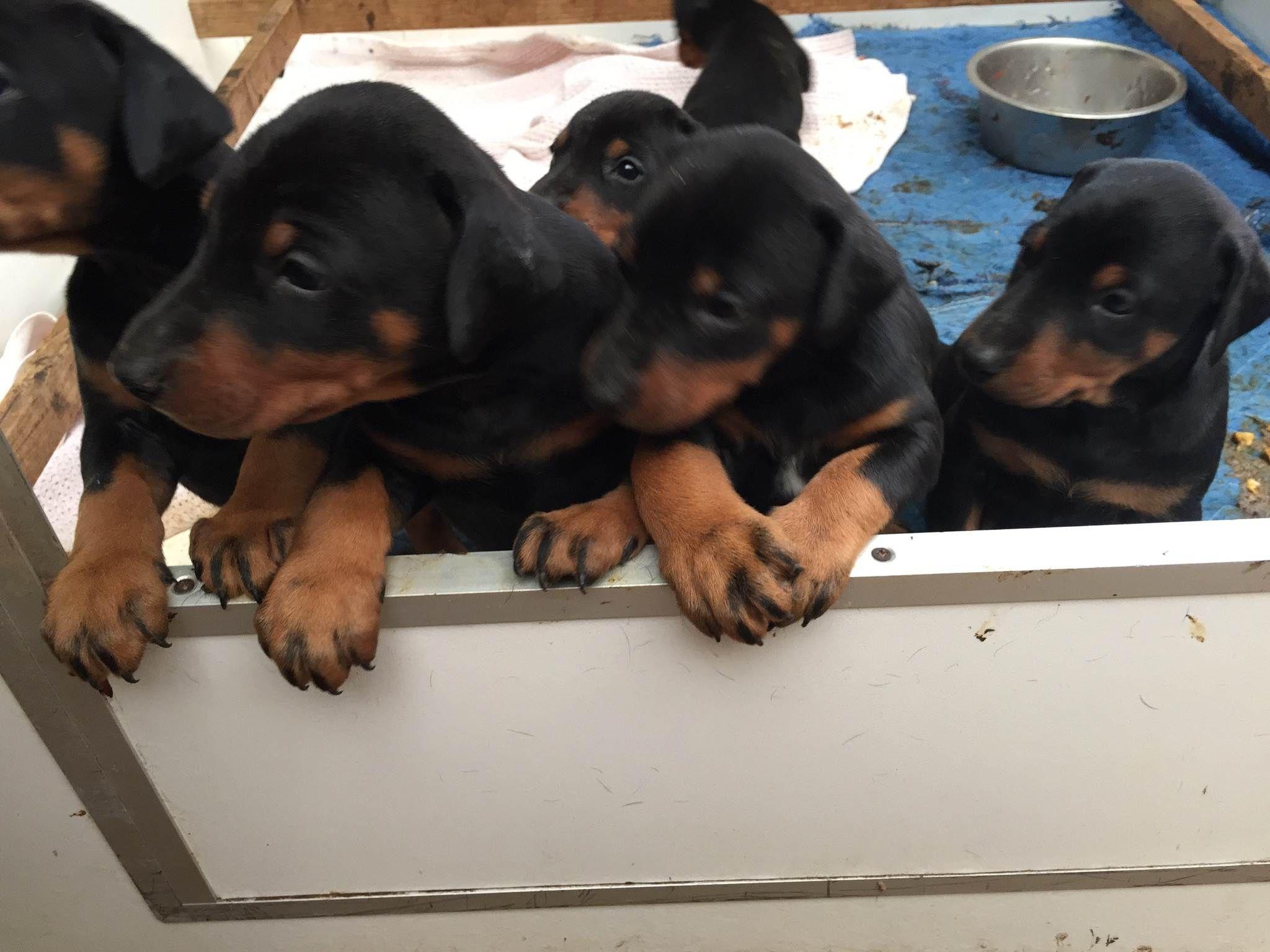 Doberman puppies born March 2015 from Pradadobes Melbourne ...