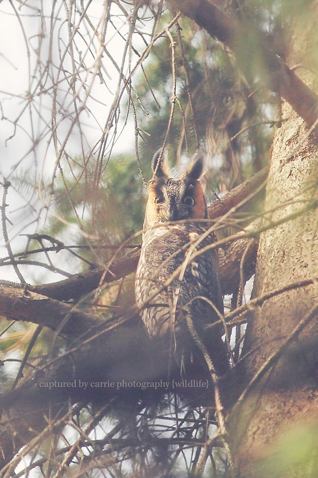 Whoooo goes there?!?! {Long-eared Owl in our local woods!} Image by © Captured By Carrie Photography  http://www.facebook.com/CapturedByCarriePhotography