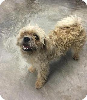 Allentown, PA Shih Tzu/Pekingese Mix. Meet Sassie a Dog