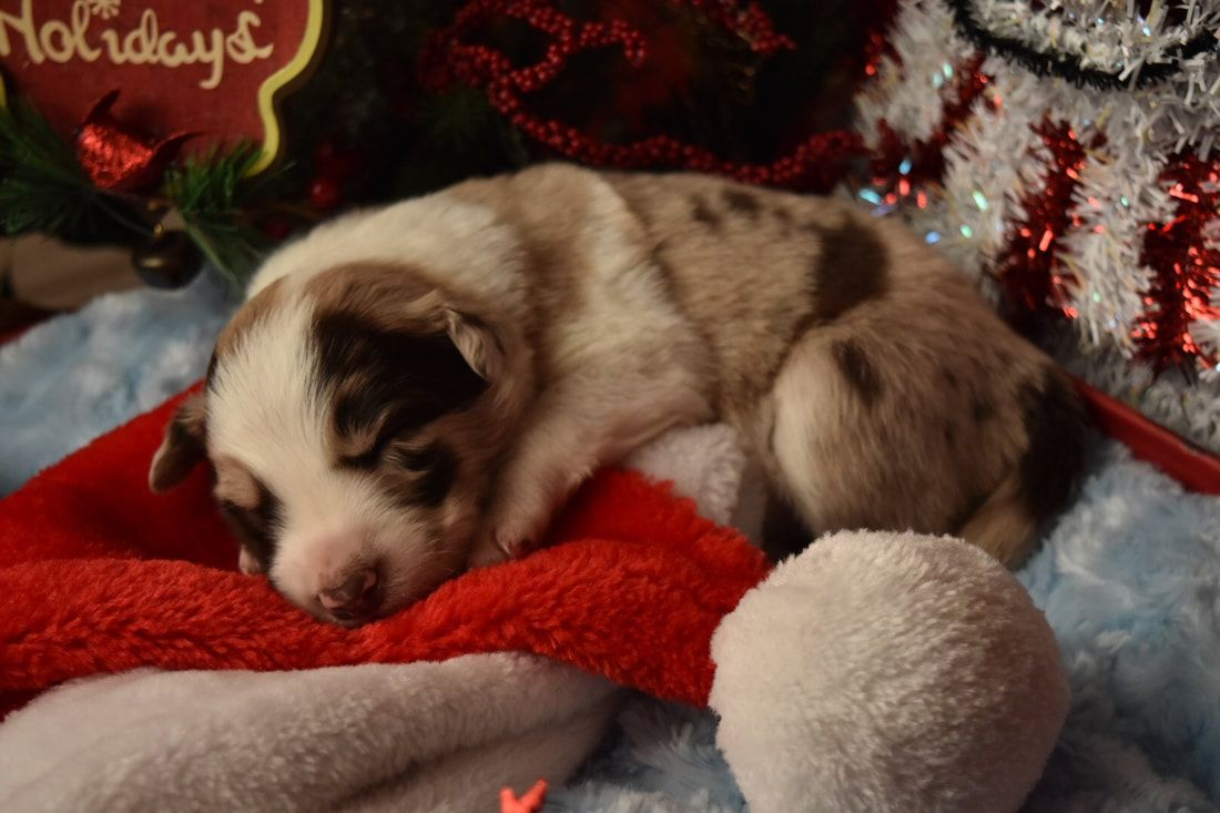 Snickerdoodle is a stunning red merle Border Collie puppy