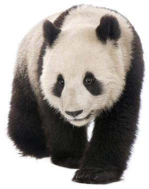 Lots of Panda facts and printable panda coloring pages and