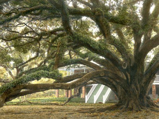 13 Rare Trees That Are National Treasures Live Oak Trees Tree Live Oak