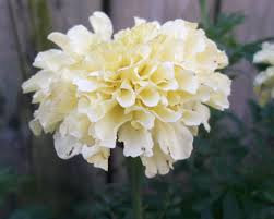 White african marigold seeds tagetes annual by naturespotionsltd flowers white african marigold mightylinksfo