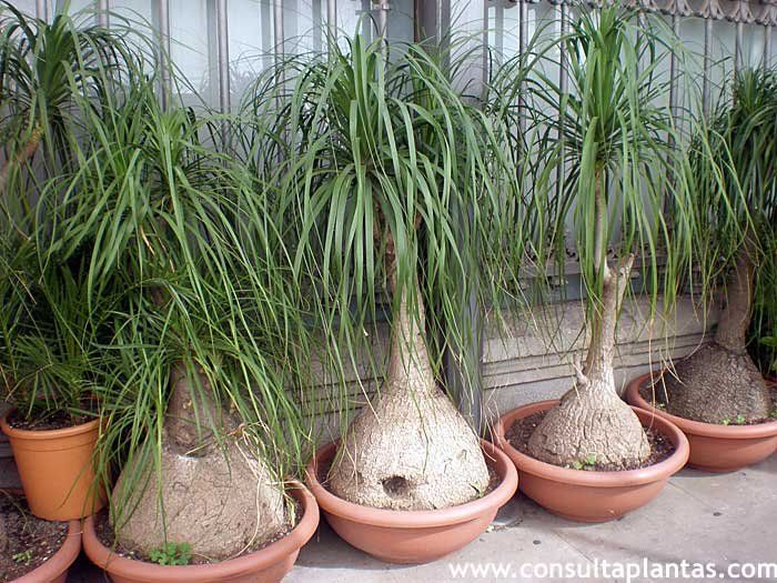 how to grow beaucarnea recurvata seeds