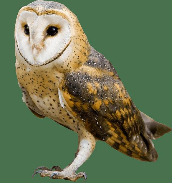 Barn Owl No Background Image Barn Owl Background Images Owl