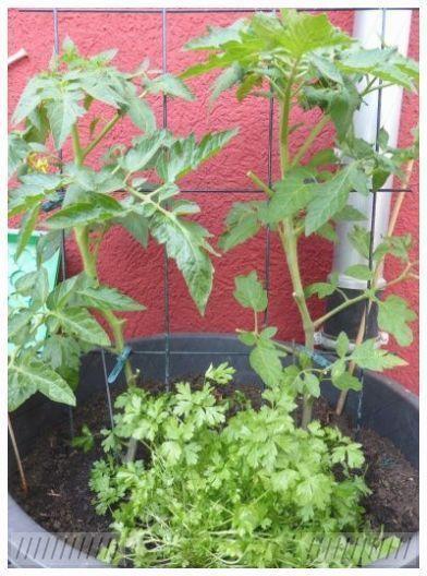#auf #dem #Pflanzen #Tomaten #tomatenpflanzen #Topf #und Tomaten Pflanzen im Topf und auf dem ... #tomatenpflanzen Tomaten Pflanzen im To...        Tomaten Pflanzen im Topf und auf dem ... #tomatenpflanzen Tomaten Pflanzen im To... - #pflanzen #tomaten #tomatenpflanzen - #tomatenpflanzen