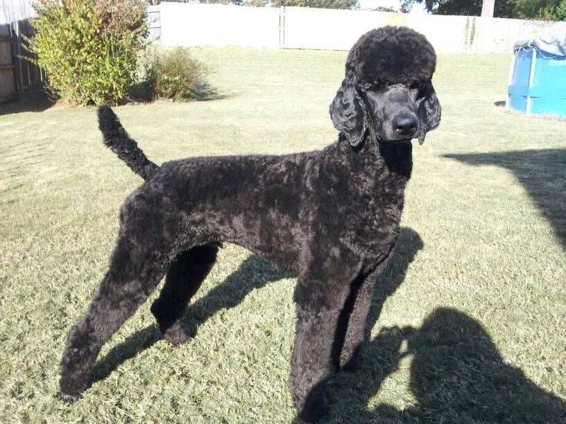 Pin On Manly Poodle Cuts