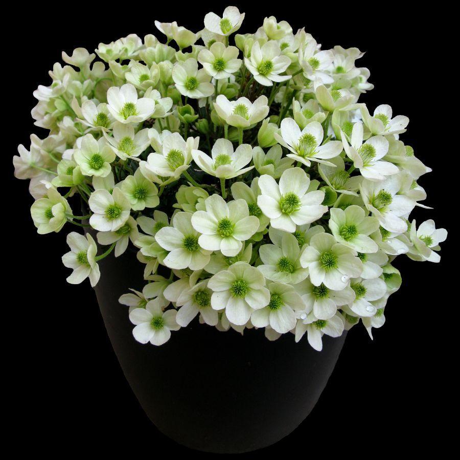 Clematis ovation gardenplants pinterest clematis gardens and
