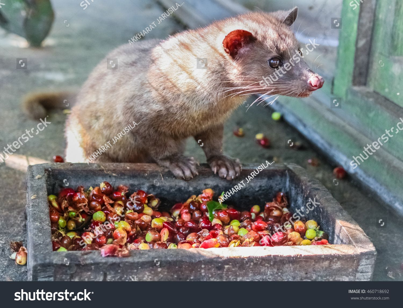 Luwak (civet cat) eating coffee bean Luwak Coffee is the