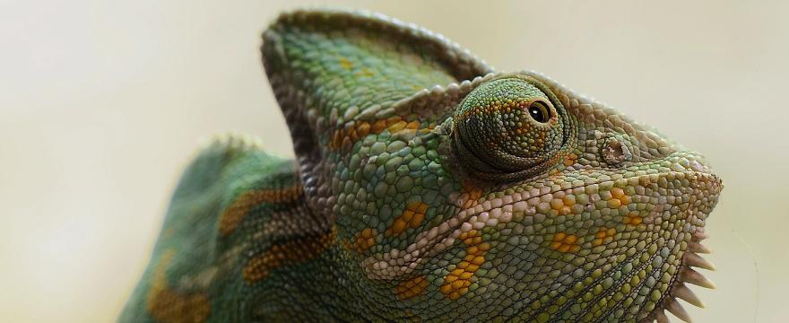 Chameleon Routine Q A Hugglepets Like Animals Chameleon Facebook Cover Photos