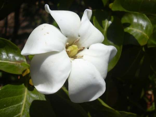 Na U Or Hawaiian Gardenia Gardenia Brighamii Gardenia White Gardens Flowers