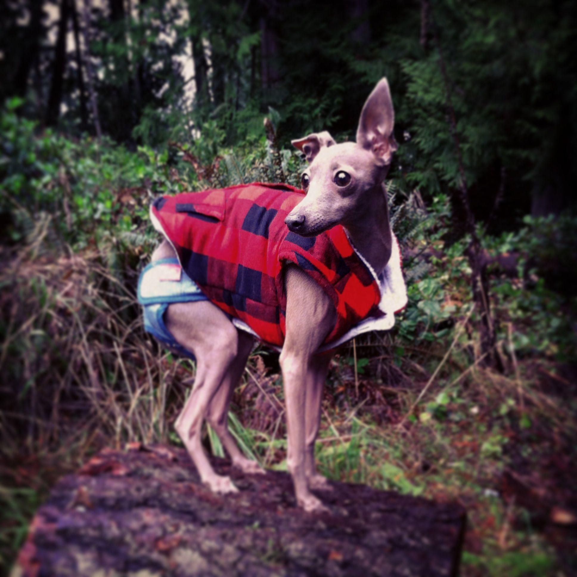 My little italian greyhound dressed like a little canadian