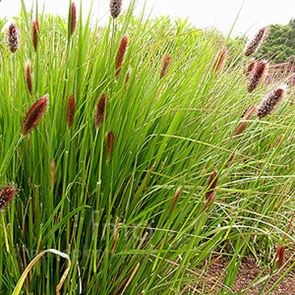 Red Buttons Ornamental Grass Seed