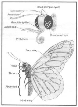 Butterfly Anatomy Detailed Head And Proboscis Butterfly Arthropods Monarch Butterfly