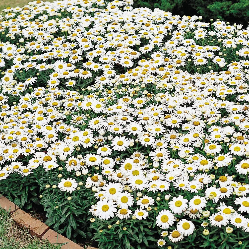 Leucanthemum X Superbum Western Star Leo Shasta Daisy Western Star Leo In Gardentags Plant Encyclopedia
