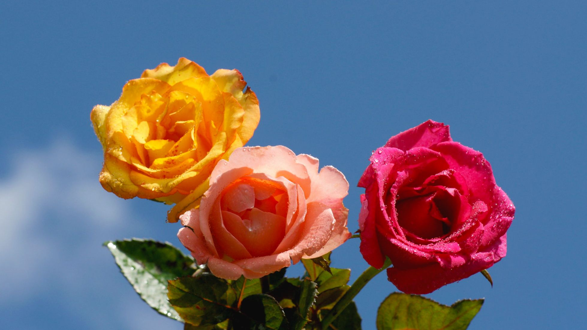 Three Different Coloured Roses