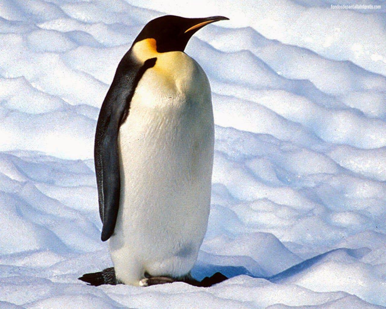 Pingüino Emperador Fotos De Pinguinos Pingüinos Pinguino Emperador