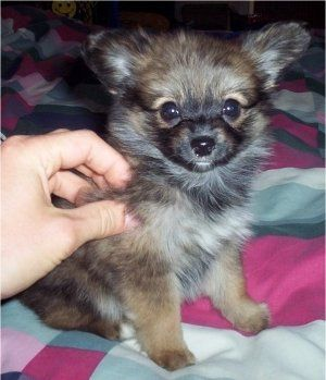Paperanian Pictures And Photos Papillon Pomeranian Hybrid Dogs Dog Breeds Pictures Hybrid Dogs Dogs
